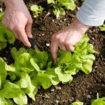 salat-ernten